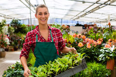 Gardener in her green house flower shop. Female florist or gardener in flower shop or nursery royalty free stock photo