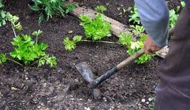 Gardener Hoeing Stock Image