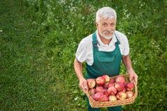 Gardener holding basket full of fresh red apples and standing on grace. Gardener holding basket full of fresh red apples and standing on green grace. Old man royalty free stock photos