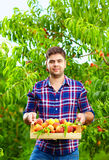 Gardener holding a crate of peach fruit, harvesting Stock Image