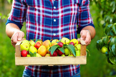 Gardener holding a crate of summer fruit, ripe pears and plums Royalty Free Stock Photo