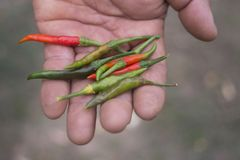 A Gardener holding fresh red and green chili peppers in his hand. S Royalty Free Stock Photo
