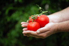 Gardener holding his tomatoes Royalty Free Stock Photography