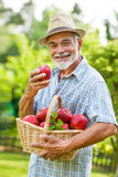 Gardener holds a basket of ripe apples Stock Photography