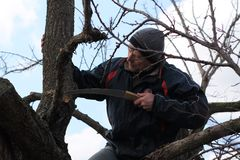 Gardener holds rejuvenating pruning of old fruit tree. He cuts thick branch with garden saw Royalty Free Stock Photo