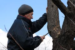 Gardener holds rejuvenating pruning of old fruit tree. He cuts thick branch with garden saw Stock Image