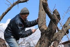 Gardener holds rejuvenating pruning of old fruit tree. He cuts thick branch with garden saw Royalty Free Stock Images
