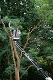 A horticulturist in a hydraulic hoist is cutting back a big tree Stock Images