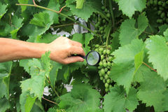 Gardener inspects grape bunch with magnifying glass in search of. Pests and diseases. Close up Royalty Free Stock Photography