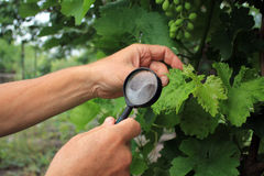 Gardener inspects grape leaves with magnifying glass in search o. F pests and diseases. On leaves there are blisters from grape tick. Close up Stock Image