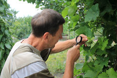 Gardener inspects grape leaves with magnifying glass in search o Royalty Free Stock Images