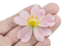 Gardener keeps flower of wild rose on a fingers, isolated on whi Royalty Free Stock Photography