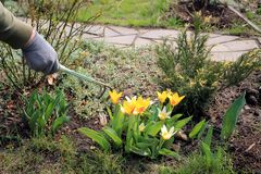 Gardener cares for blooming yellow tulips with help of ripper tool at spring. Gardener loosens soil around blooming yellow tulips with help of ripper tool Stock Image