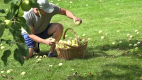 Gardener man boy carry basket full of fruits and collect apples under tree in garden. 4K stock video