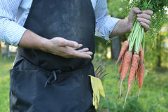 Gardener man holding carrot harvest in hand Royalty Free Stock Images