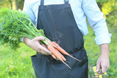 Gardener man holding carrot harvest in a hand Royalty Free Stock Photo
