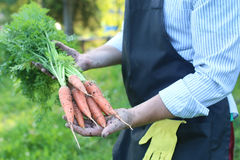 Gardener man holding carrot harvest in a hand Stock Photos
