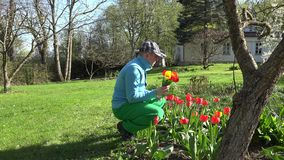 Gardener man pick tulip flowers in spring garden. 4K. Gardener man with hat pick gather colorful tulip flowers in spring time garden. Man in blue jumper and stock footage