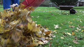 Gardener man rake fall leaves and empty cart during autumn works in yard. 4K