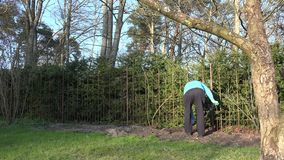 Gardener man dig flower bed soil ground near rose sprouts. 4K. Gardener man with spade dig flower bed soil ground near steel hedge fence in spring garden. Rose stock video footage