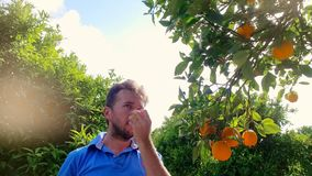 Gardener man tearing orange from branch in citrus grove. Orange fruit tree