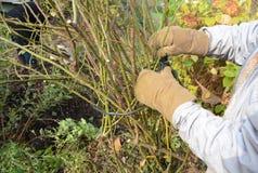 Gardener mound and tie climbing rose bush royalty free stock photography
