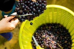 Free Gardener Pick And Cut A Purple Grapes Are Organic Fruit In Yellow Basket . Yellow Scissors . Bunch Of Fresh Ripe Grape At Vineyard Royalty Free Stock Image - 122766796
