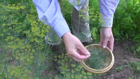 Gardener pick fresh dill in garden stock video