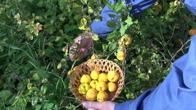 Gardener pick harvesting ripe quinces in garden stock footage