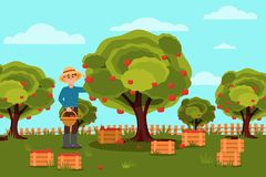 Gardener picking apples in basket. Fruit farm. Natural landscape. Wooden boxes with harvest. Flat vector design. Gardener picking apples in basket. Fruit farm Royalty Free Stock Photo
