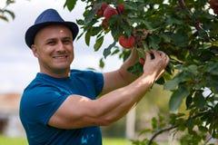 Gardener picking apples Stock Photography