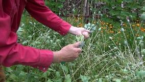 Gardener picking decorative poppies heads stock footage