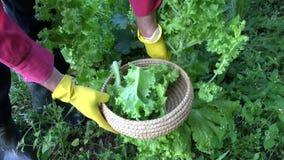 Gardener picking fresh lettuce from garden stock video footage