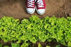 Gardener picking fresh lettuce from her garden . Fresh green curly Lettuce salad background. Top view Stock Image