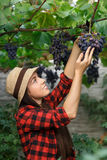 Gardener picking grape Royalty Free Stock Photo