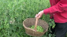 Gardener picking harvesting fresh rgreen pea in old basket stock video footage