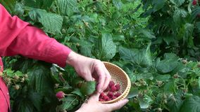 Gardener harvesting ripe sweet healthy raspberries stock video
