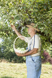Gardener picking organic apples Stock Photos