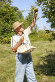 Gardener picking organic apples Stock Images