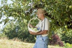 Gardener picking organic apples Stock Image