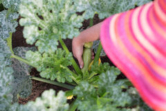 Gardener picking small zucchini from a plant in a garden Royalty Free Stock Images