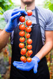 Gardener picking up fresh ripe red cherry tomatoes in garden with white gloves in harvesting period. Agriculture Royalty Free Stock Photos