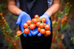 Gardener picking up fresh ripe red cherry tomatoes in garden with white gloves in harvesting period. Agriculture Stock Image