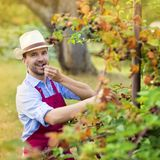 Gardener picking up fruit Royalty Free Stock Images