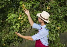 Gardener picking up fruit Stock Photo