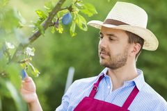 Gardener picking up fruit Royalty Free Stock Image