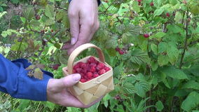 Gardener picking wild ripe raspberries stock video