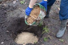 Gardener planting a blueberry bush fertilizes the soil with sawdust. Put sawdust into the ground for fertilizer. Gardener planting a blueberry bush fertilizes stock images