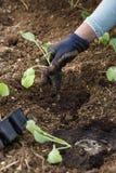 Gardener planting cauliflower seedlings in freshly ploughed garden beds stock images