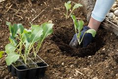 Gardener planting cauliflower seedlings in freshly ploughed garden beds royalty free stock photos